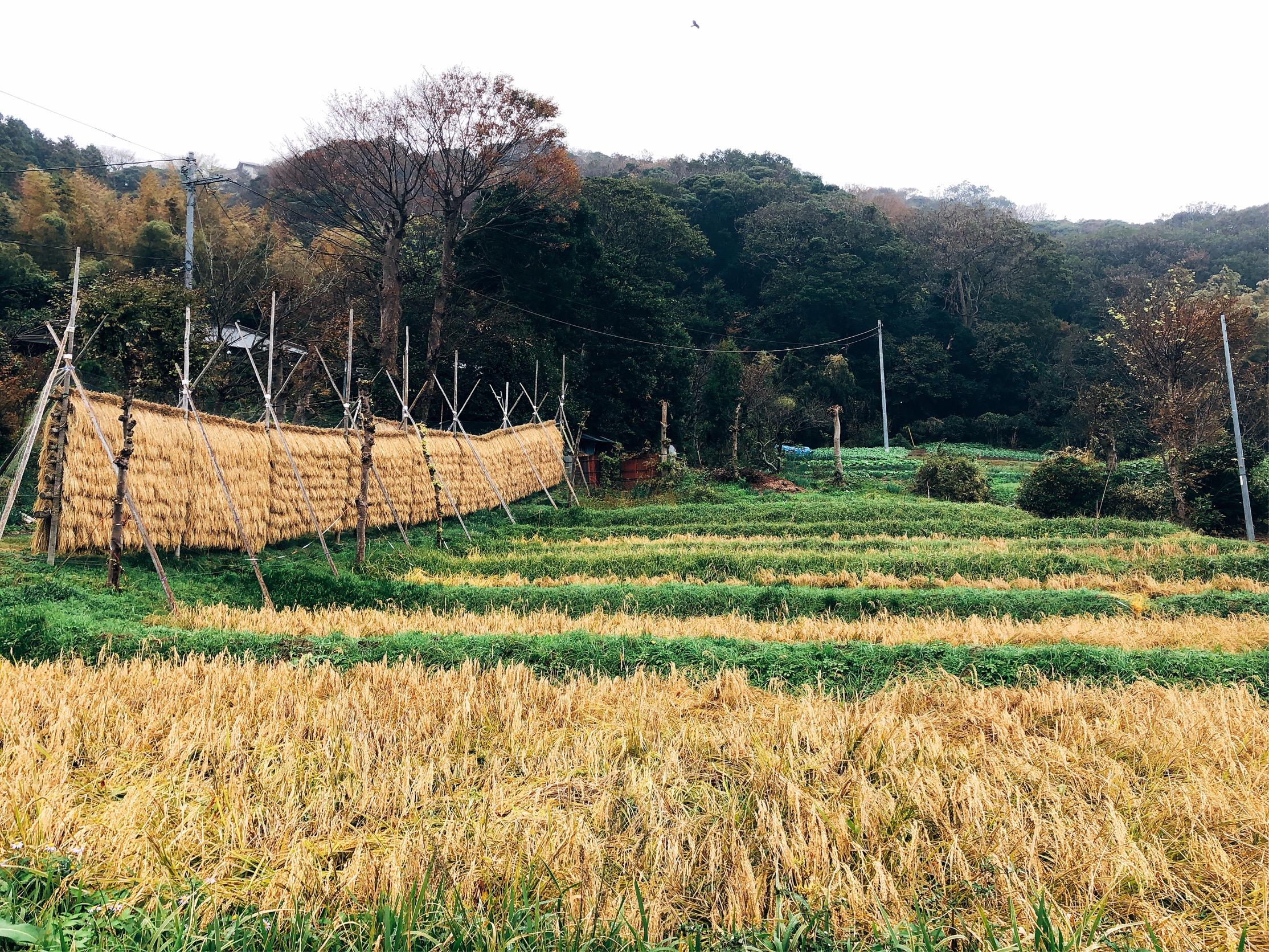 葉山で見つけた、稲干し。秋ならではの風景に魅了される