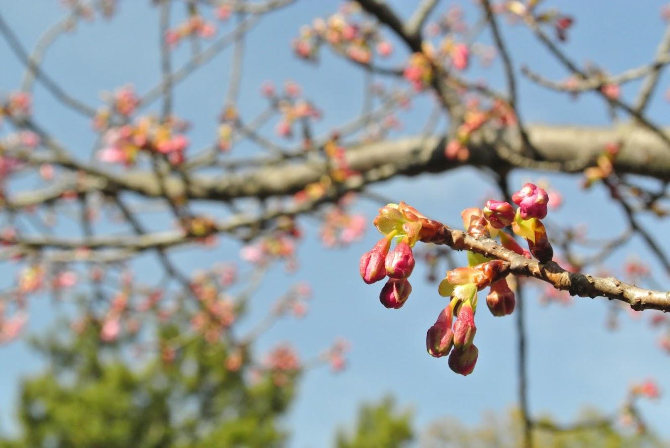 葉山しおさい公園で見つけた梅のつぼみ。花開く時が楽しみだ。