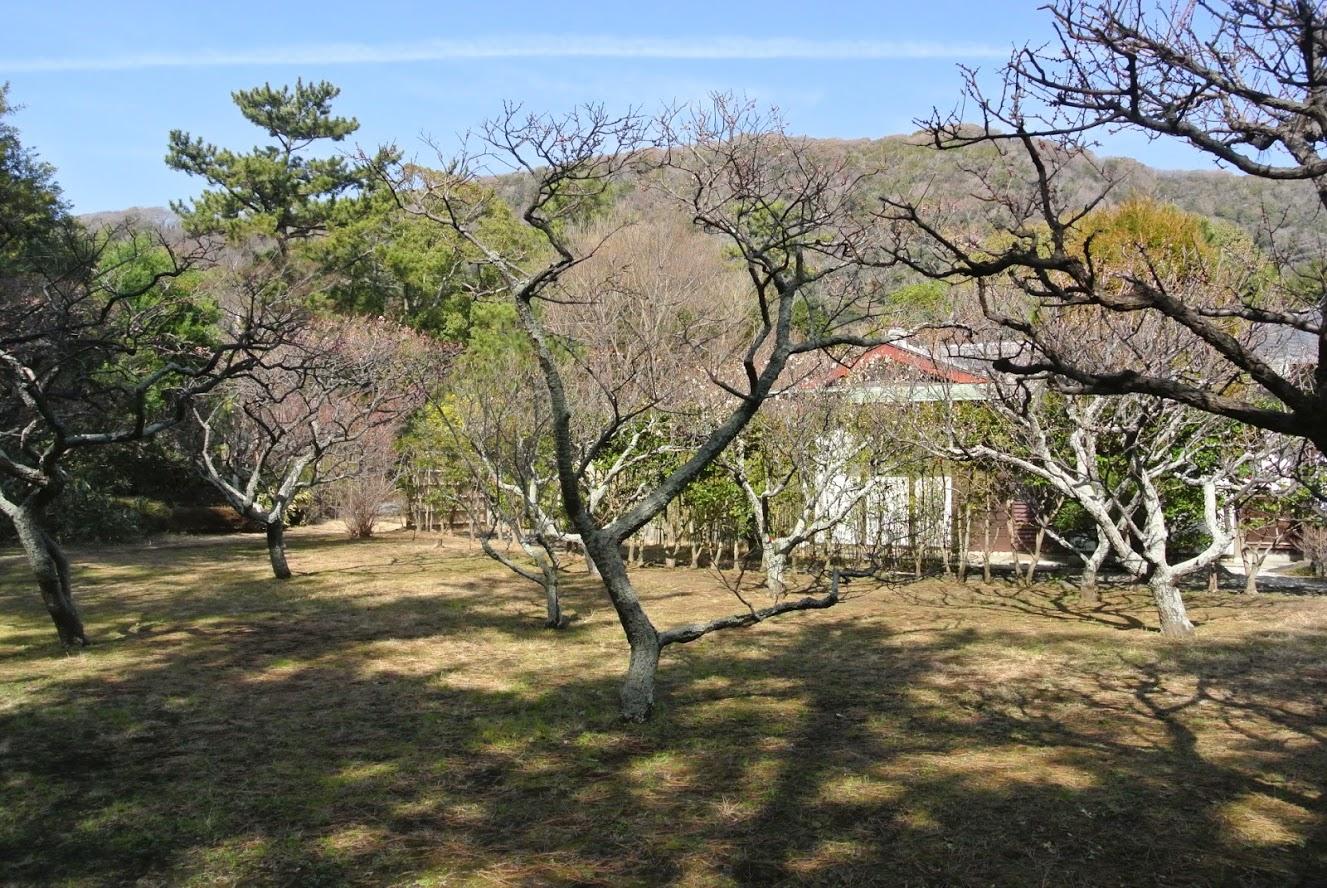 葉山しおさい公園の梅林。ほのかにピンク色に染まった木々たちが、春の喜びを告げているように感じる。