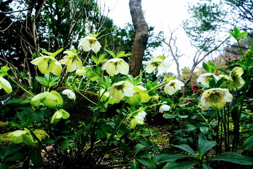 山口蓬春記念館のクリスマスローズの花