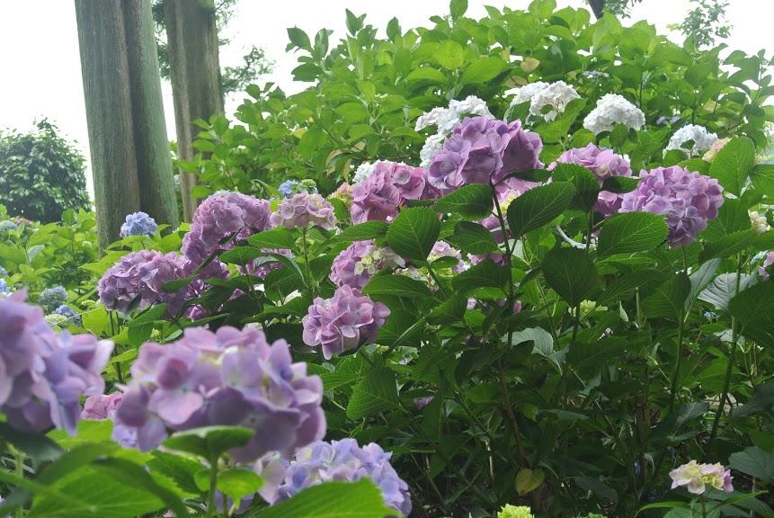 青紫のあじさいがたくさん咲いている