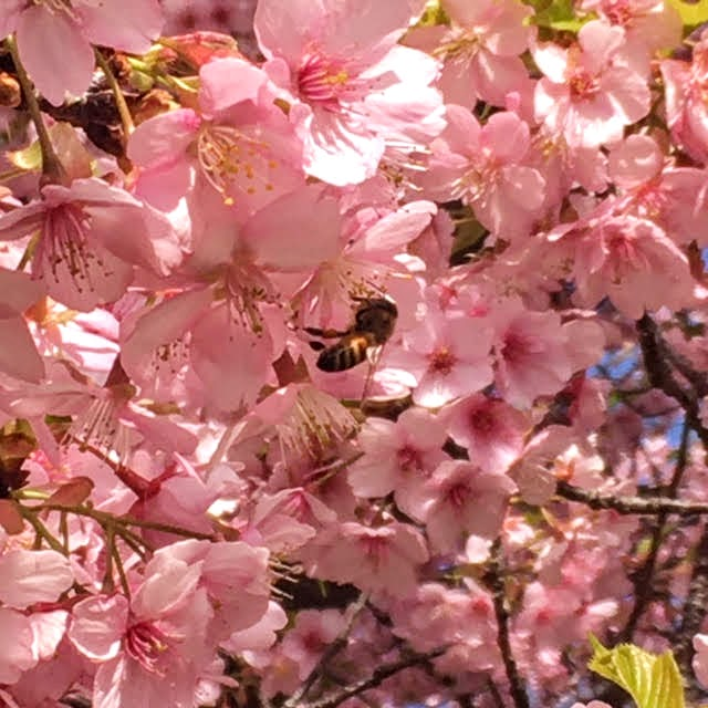 葉山の春。桜が満開。