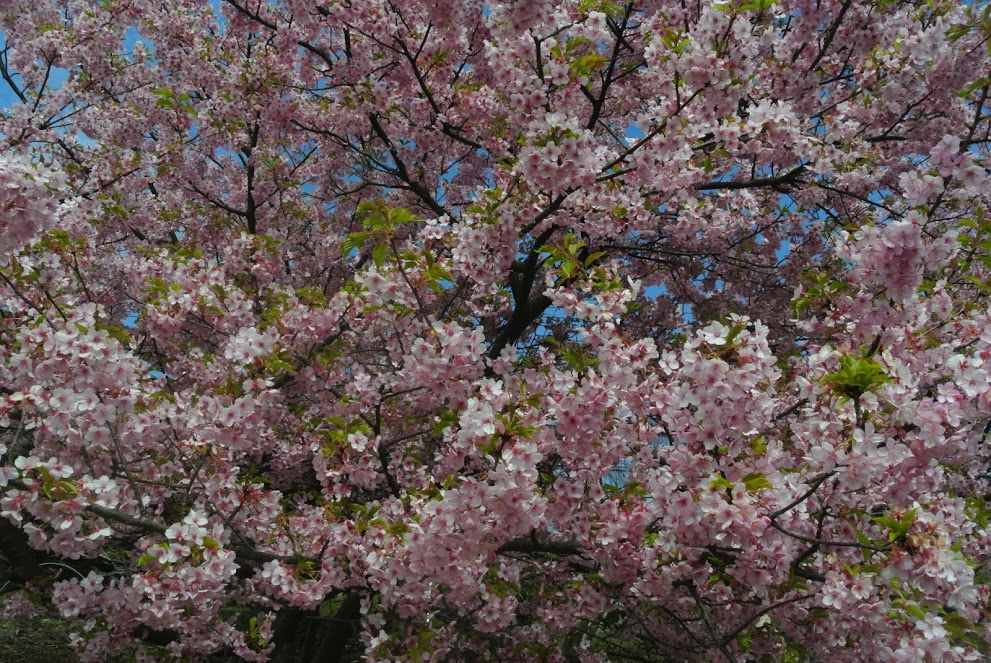 新善行寺の桜。満開。