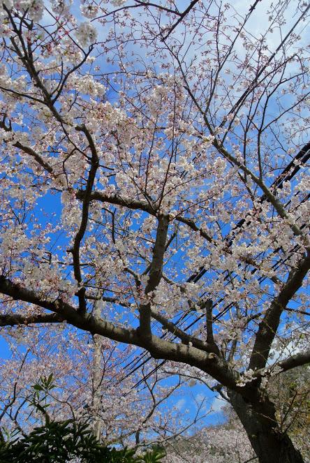花ノ木公園の桜。空の青に桜のピンクが映えて綺麗。