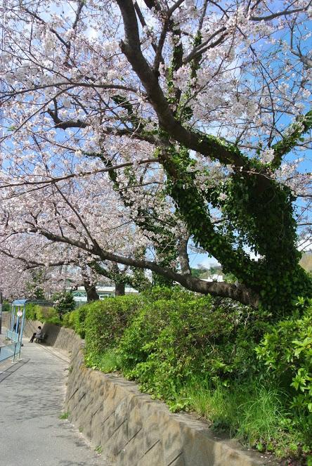 葉山小学校前の桜並木。