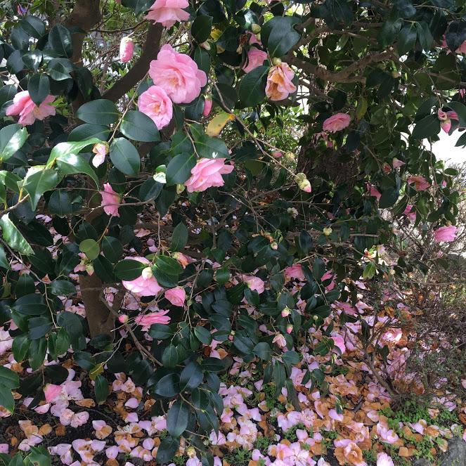 """背の高いピンクの椿の木が小道に続いている"""""""