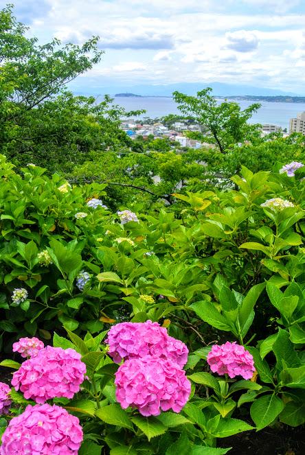 紫陽花公園は葉山の高台に位置しており、手前には鮮やかなピンクとブルーの紫陽花、遠く奥には海を見渡せる