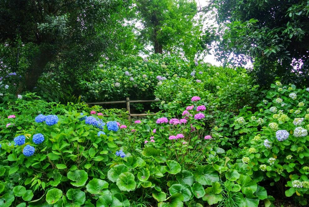 青、ピンク、水色の紫陽花が一面に咲き乱れている
