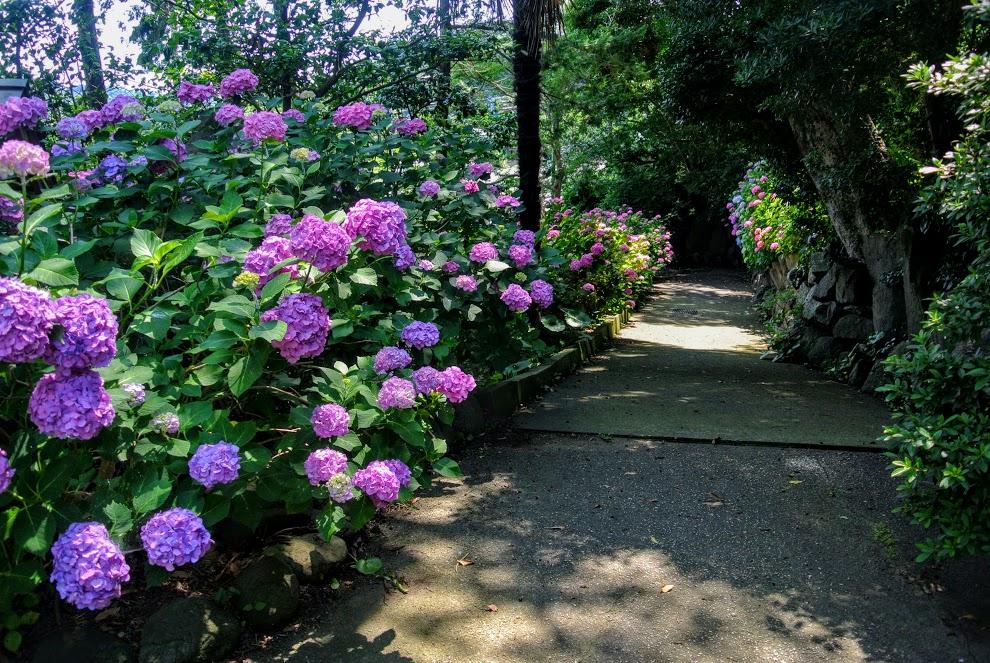 新善行寺へ向かうあじさいの小道。長く続く小道の左手は紫陽花が道の先まで咲き続けている