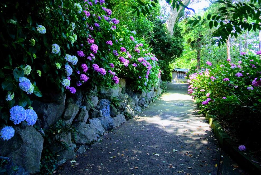 もうすぐ新善行寺へ到着。ここまでくると紫陽花は両手に咲いている