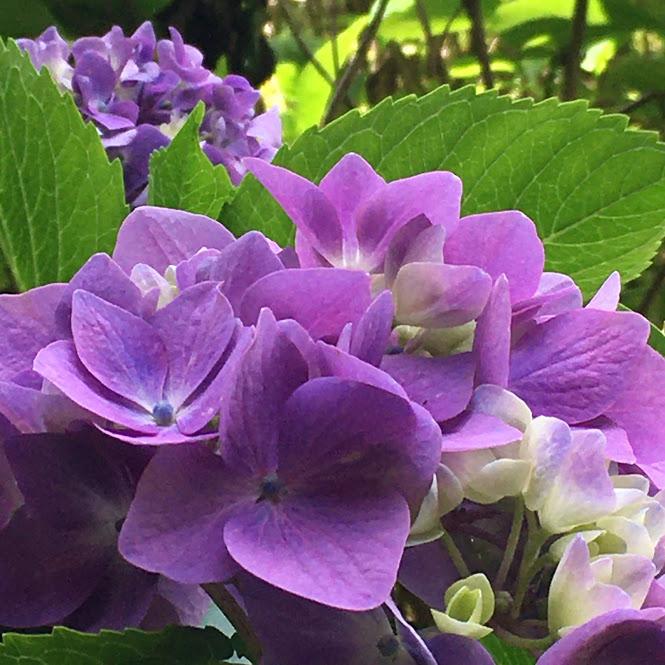 紫色に彩る紫陽花