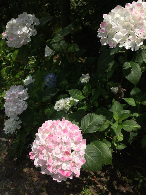 しおさい公園の紫陽花