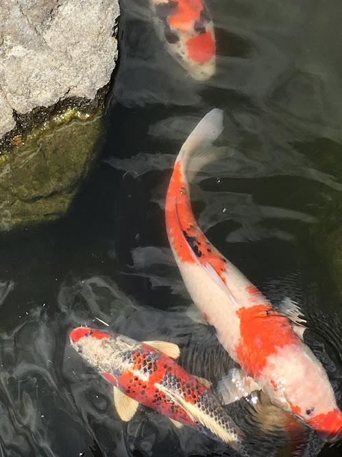 朱色と白の鯉