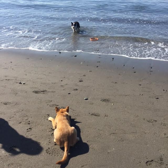 浜辺で伏せる犬